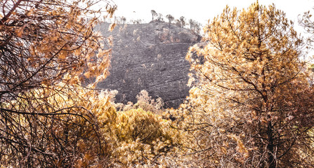 Forest of pine trees almost burned by a fire in the foreground