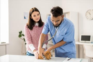 Examining sick guinea pig
