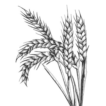 Wheat ear spikelet engraving vector illustration. Scratch board style imitation. Black and white hand drawn image.