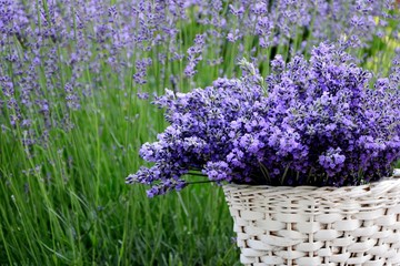 A wonderful bouquet of fresh lavender in a white basket on the background of a field of flowering...