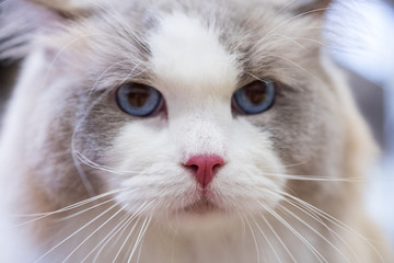 Macro view of ragdoll pink nose. Selective focus