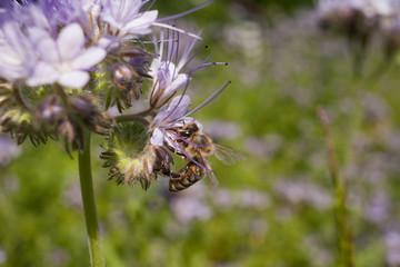 Bee on light violets flowers Phacelia tanacetifolia on Blur background. Pollen on the legs.