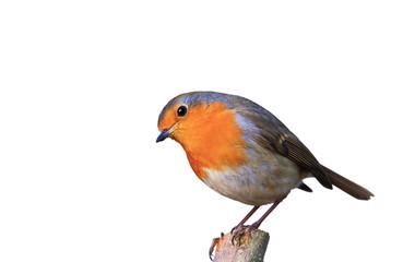 Der Gartenvogel Rotkehlchen freigestellt in neter Pose auf Ast sitzend Fototapete