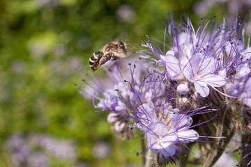 Bees on flowers. Bee on light violets flowers Phacelia tanacetifolia on Blur background. Pollen on the legs.