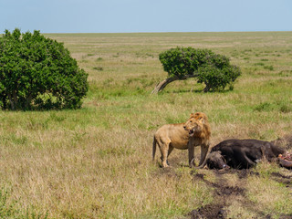 East african lion protecting his cape buffalo prey