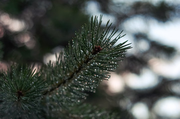 Pine branches and needles with dewdrops after rain