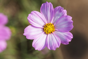 Close up pink cosmos flowers in the garden