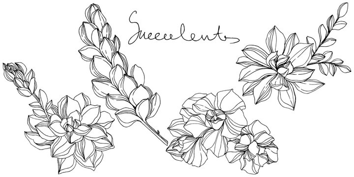 Vector Jungle botanical succulent flower. Black and white engraved ink art. Isolated succulents illustration element.