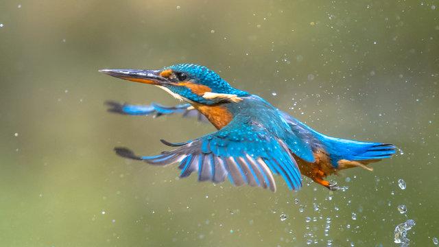 Common European Kingfisher Flying