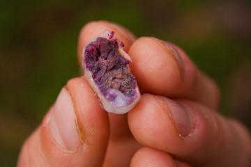 Sample of freshly picked cocoa bean in Costarica