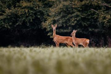 European deer in evening. European roe deer surrounded by grass and forest. Roe deer wildlife