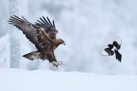 Golden eagle and magpie fighting in snow