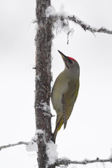 Woodpecker sit on tree with snow