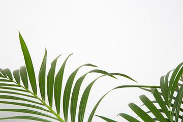 Feuille de plante Areca sur fond  blanc