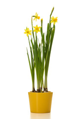 Potted daffodil flowers isolated on white background