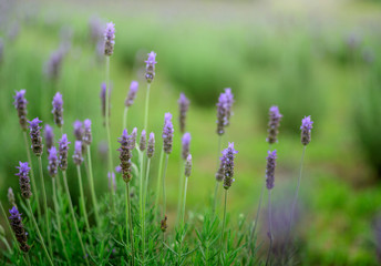 Beautiful detail of a lavender flowers