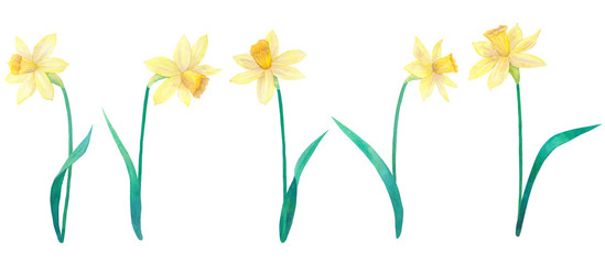 Daffodils or narcissus. Yellow flowers and leaves. Big collection. Watercolor hand drawn illustration. Isolated on white background.