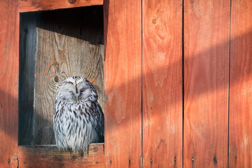 Beautiful gray owl on a wooden background. Wild animals. Birds.