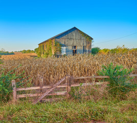 Ivy Covered Barn in a Corn Field, KY