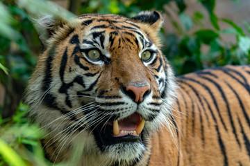 Photo sur Plexiglas Tigre sumatra tiger portrait close up while looking at you