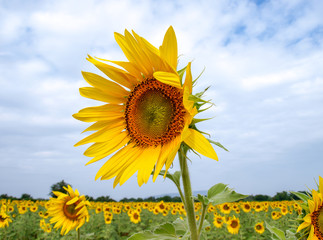 The sun flower with blue sky background