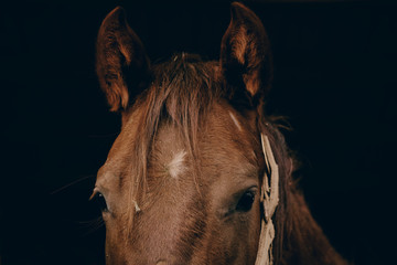 Dark moody image of brown horse in stable close up and looking at camera.  Portrait of young mare with black background.