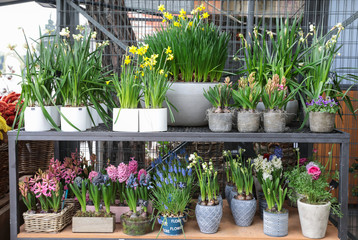 Rack with variety of spring flowering plants such as daffodil, hyacinth, muscari, persian buttercup in the garden shop.