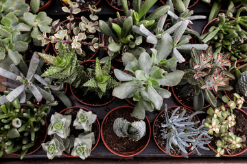 Collection of small decorative succulents in pots.