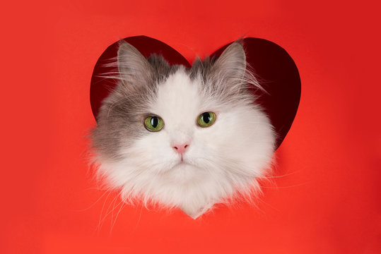 fluffy cat for valentines day