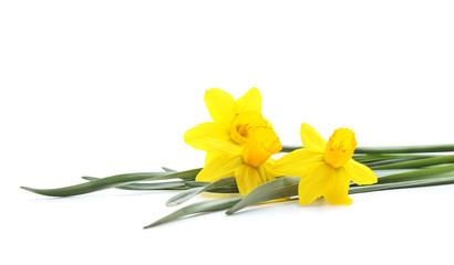 Three yellow beautiful daffodils.