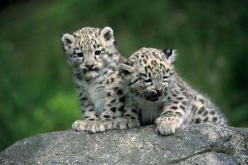 Fototapeten Leopard Snow Leopard (Uncia uncia)