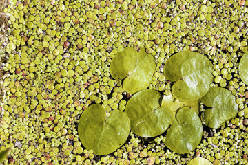 Top View Green Water Lily Plant on dark surface of pond. Amazing nature background