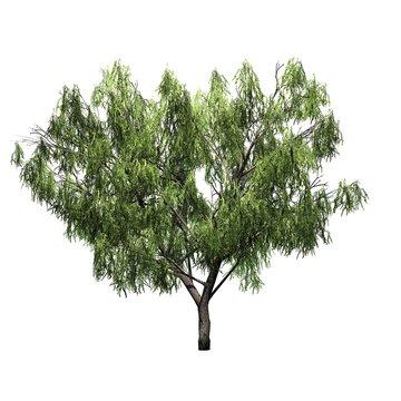Honey Mesquite tree - isolated on white background