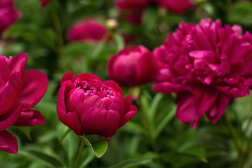 Red peonies in the garden. Blooming red peony. Closeup of beautiful red Peonie flower.