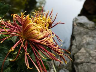 Chrysanthemum flowers growing by the pond