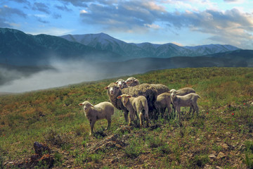 a flock of sheep and lambs graze in the pasture at the foot of the mountains at sunset
