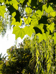 Green maple leaves and willow branches background