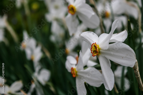 Narcissus Flower Beautiful Spring Flowers Daffodils Bright