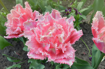 Beautiful terry fringed tulip Queensland