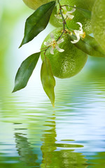 Fototapete - branch with lemons above the water