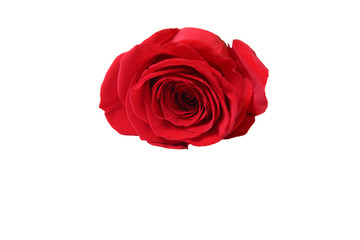 Blossom of red rose on white background, isolated
