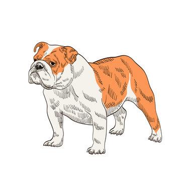 pedigree dog bulldog orange white
