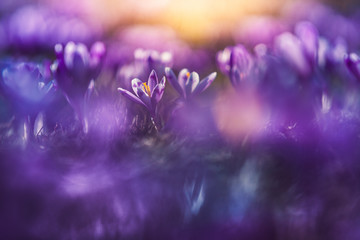 Crocus field close-up with beautiful light