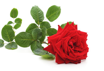 One red rose.