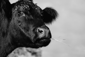 Wall Mural - Cute black and white cow close up on rural farm for vintage country lifestyle of animal.