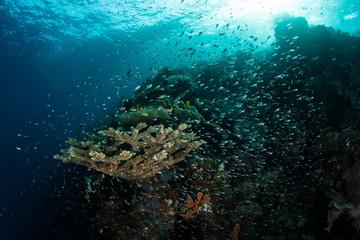 Beautiful Reef and Fish in Raja Ampat, Indonesia.