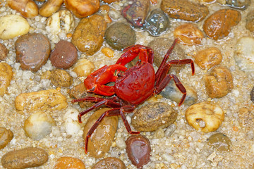 Crab : Red land crab (Phricotelphusa limula)(Male) , One of world most beautiful fresh water crabs, native only in Phuket island, Thailand. It's also known as waterfalls crab.Very rare