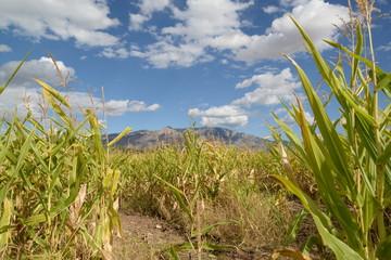 Sandia cornfield