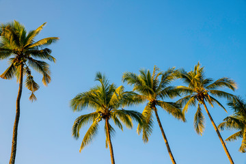 Coconut palm trees on blue sky background - Image