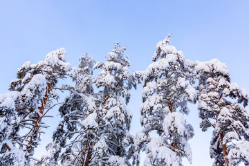 Trees covered with snow and frost in the winter forest against the blue sky